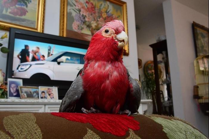 Turske su mu najdraže: Papiga Kuki obožava gledati sapunice
