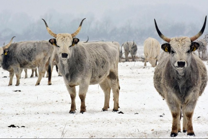 Zaštićeno podolsko govedo treba brendirati i povećati mu cijenu