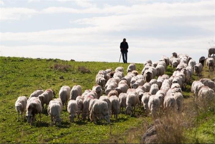 Traži se pastir!
