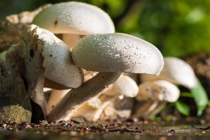 Odlične vijesti za gljivare