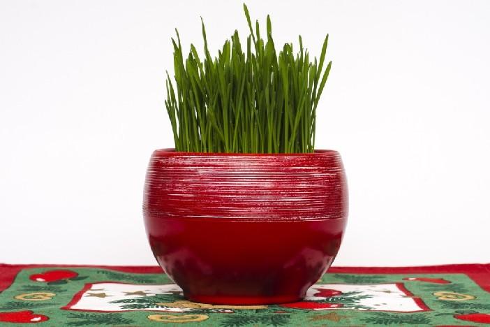 Božićna pšenica: Trikovi kako da naraste gusta i bude lijepa