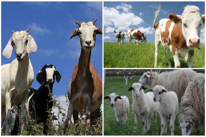 Seksualno zlostavljao koze, ovce, krave, a otkrio ga je bik